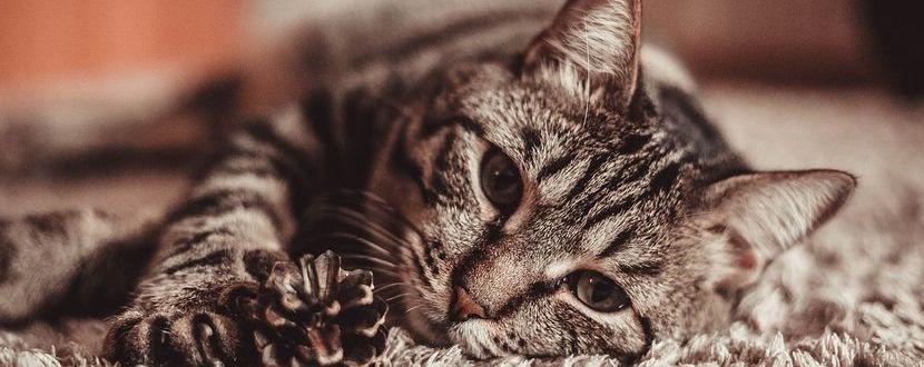 Vorteile von CBD im Bezug auf Katzen