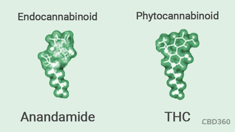 Anandamide - THC