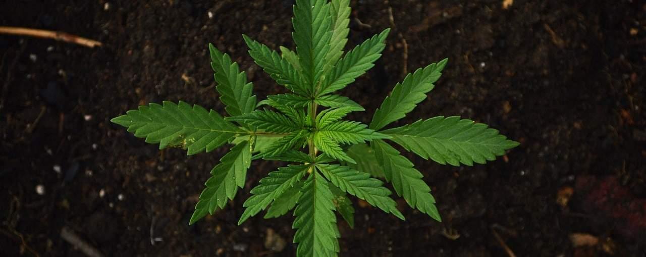 Cannabis Öl als hilfe gegen Tinnitus