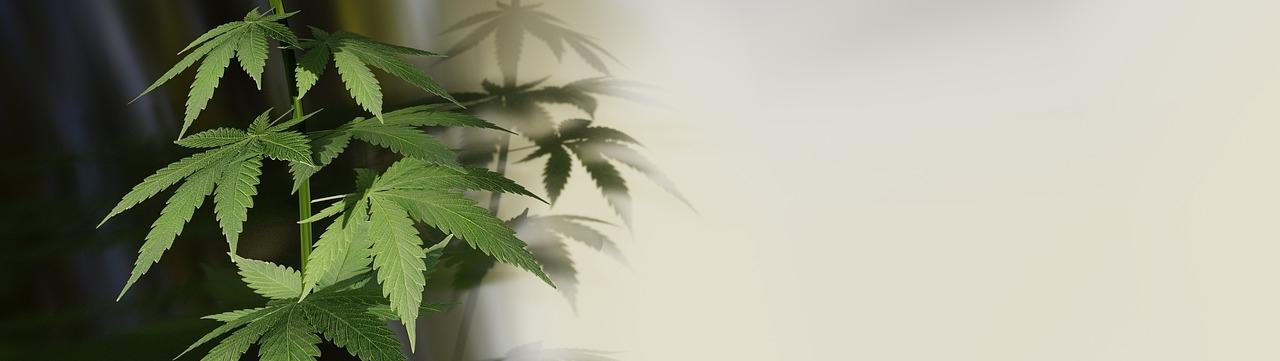 Ökologische und Ökonoimische Möglichkeiten der Hanfpflanze