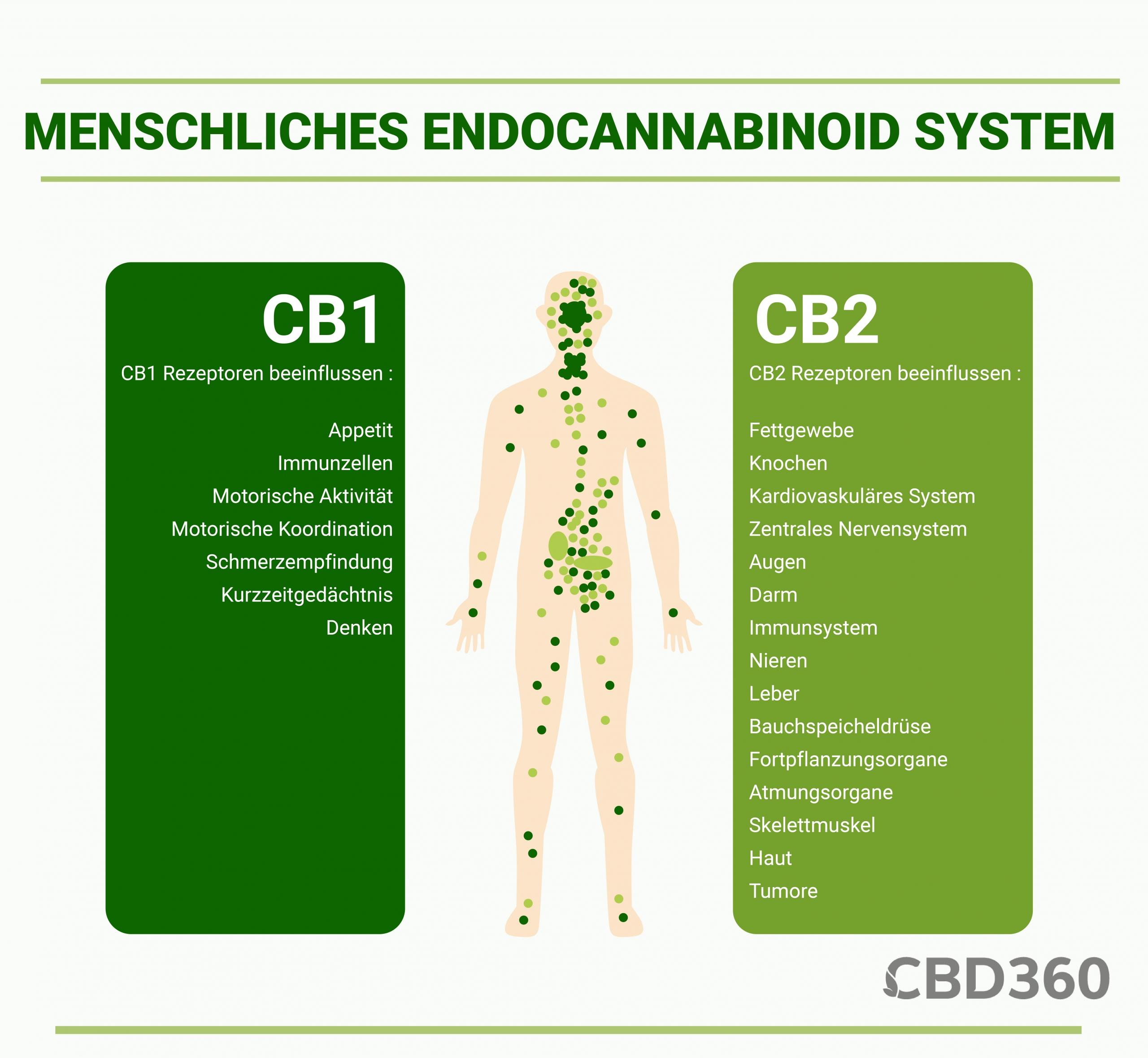 Menschliches Endocannabinoid System